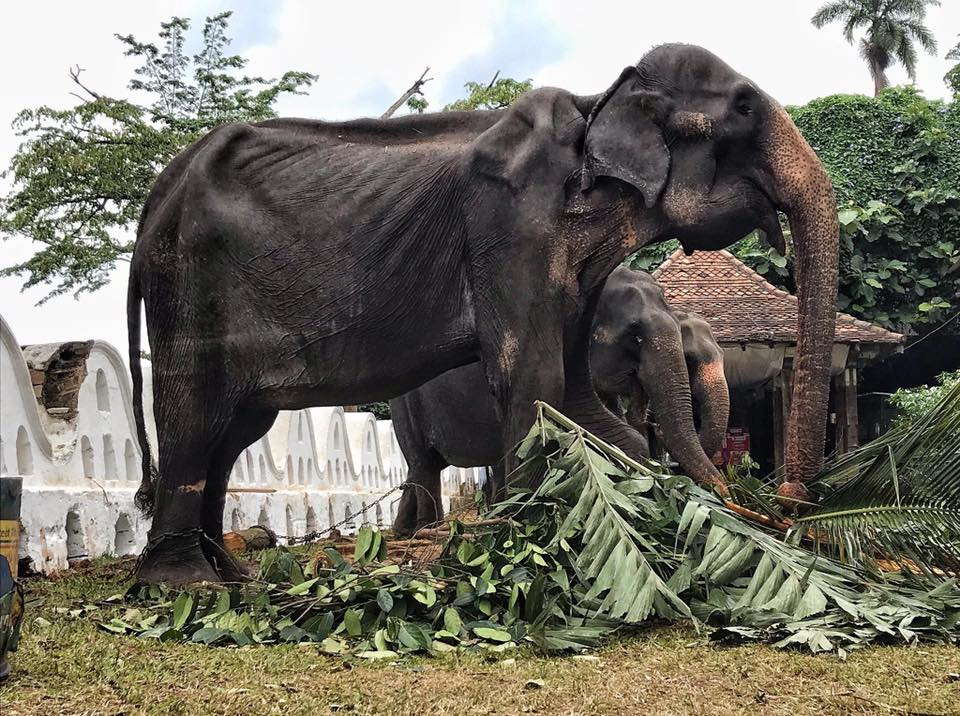 cô voi tiriki gầy trơ
