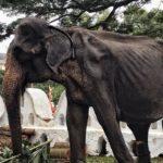Hình ảnh cơ thể gầy trơ xương của voi trong lễ hội Perahera ở Sri Lanka