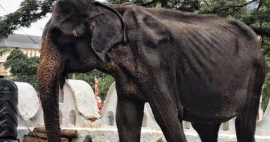 voi gầy trơ xương ở lễ hội srilanka